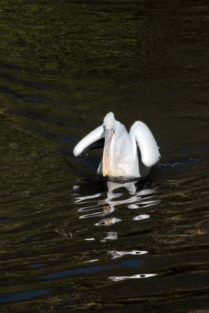Pelican Stock Photo - 14675625