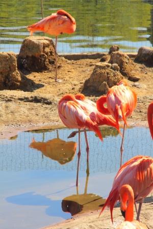 Pink flamingos   photo