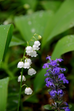 Lily of the valley Stock Photo - 15323657