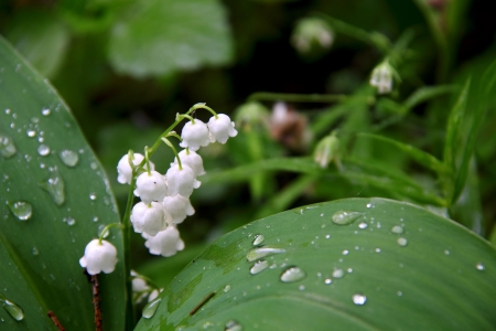 Lily of the valley   Stock Photo - 15323644