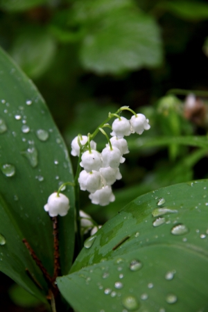 Lily of the valley Stock Photo - 15323656
