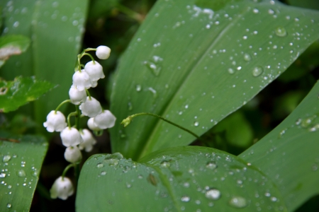 Lily of the valley Stock Photo - 15323642