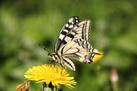 Butterfly  Dandelion