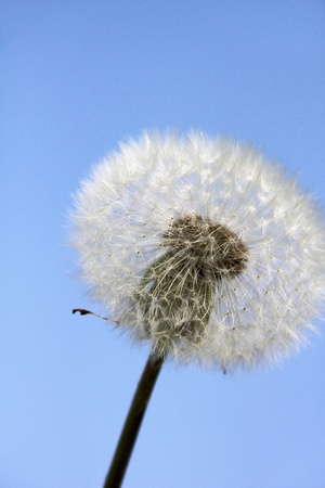 Dandelion  Blowball   photo