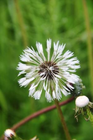 Dandelion  Drops   photo