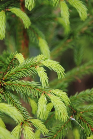 Young branches of a fir-tree   Stock Photo