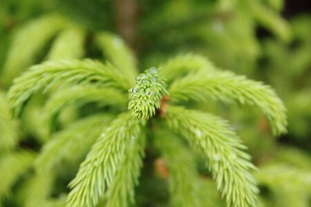 Young branches of a fir-tree   photo