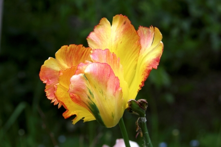 A decorative tulip  photo