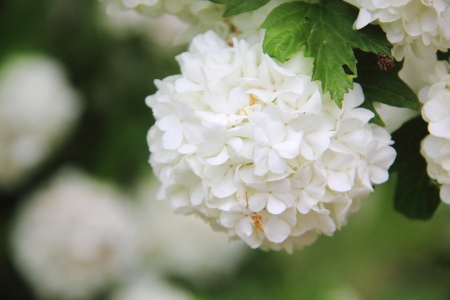 Viburnum  White flower   Stock Photo - 15656787