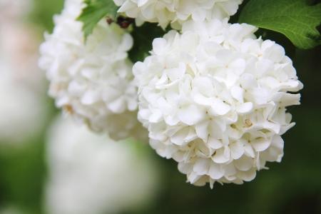 Viburnum  White flower