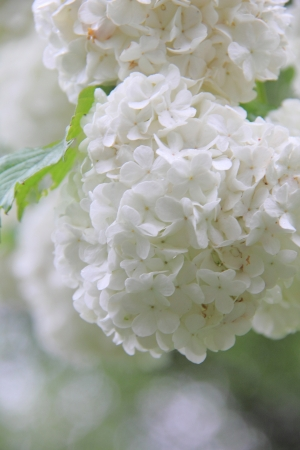 Viburnum  White flower