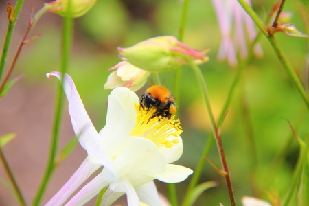 Bumblebee  Flower   photo