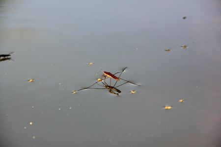 Pond skater  Water strider   photo