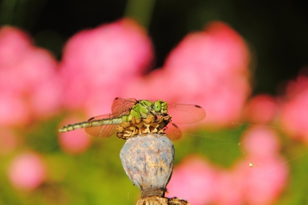 Dragonfly  Aeschnids   Stock Photo - 17089962