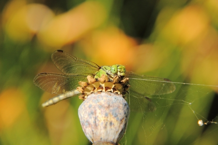 Dragonfly  Aeschnids   Stock Photo - 17090427