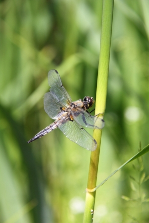 Dragonfly  Aeschnids   photo