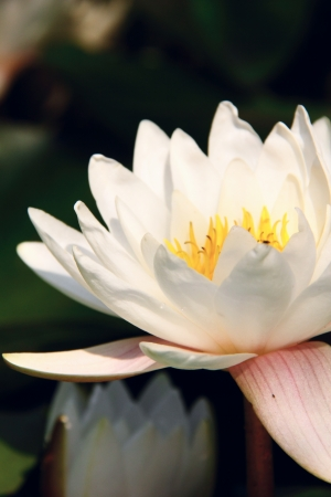 White waterlily  Nymphea   photo