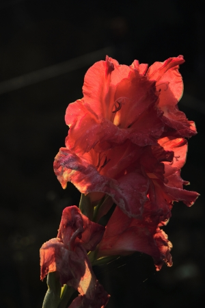 Gladiolus  Drops   Stock Photo - 17089975