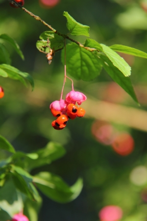 Euonymus  Berry   photo