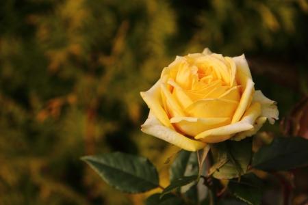 Yellow rose   Stock Photo - 18139501