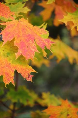 Maple leaf  Autumn   photo