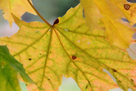 Maple leaf  Autumn   photo