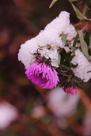 Autumn aster  Flower   photo