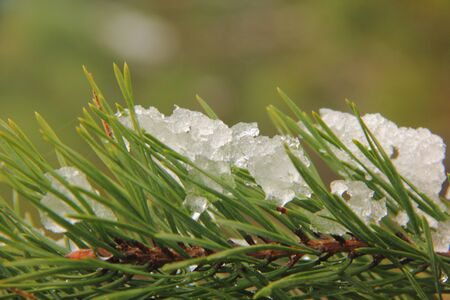 Snow on a pine   photo