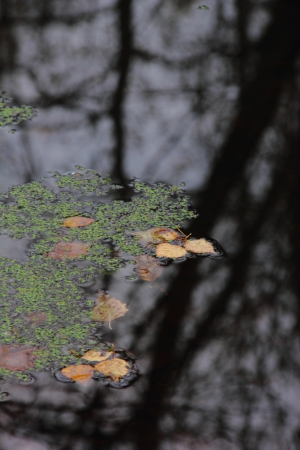 Autumn  Dry leaves on water   photo