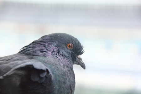 Head of a pigeon   Stock Photo