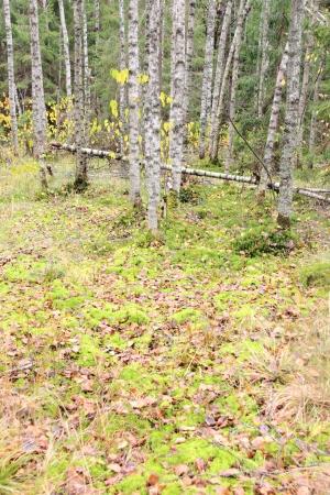 Birch wood   photo