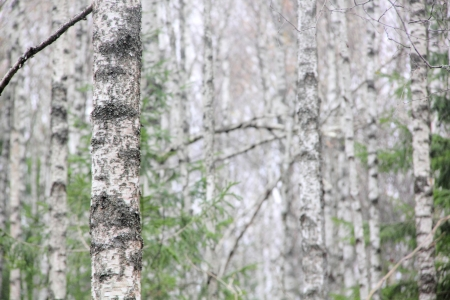 Birch wood   photo