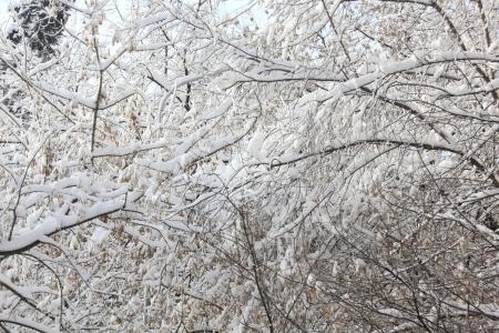 Snow  Trees   photo