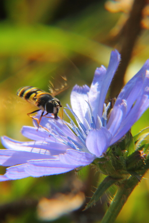 chicory flower: Chicory  Flower   Stock Photo