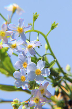 Forget-me-not  Flower   photo