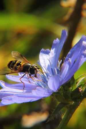 Chicory  Flower   photo