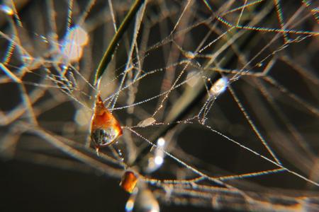Spiderweb  Drops   photo