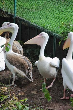 Pelican   photo