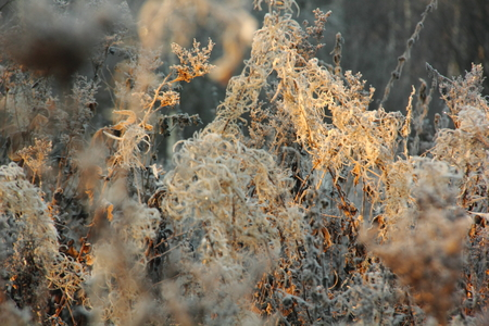 fireweed: Dried fireweed  Hoarfrost