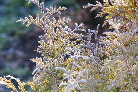 Golden Thuja  Hoarfrost   photo
