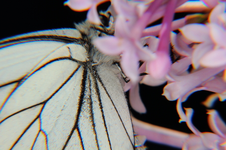 Butterfly  Lilac   photo