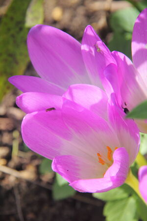 Crocus  Flower  Stock Photo