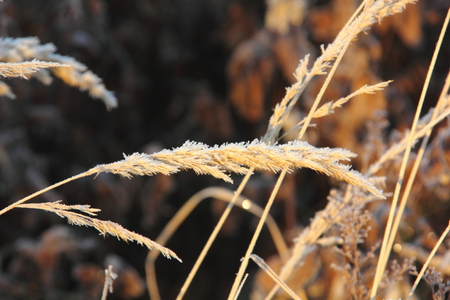Dry grass  Hoarfrost   photo