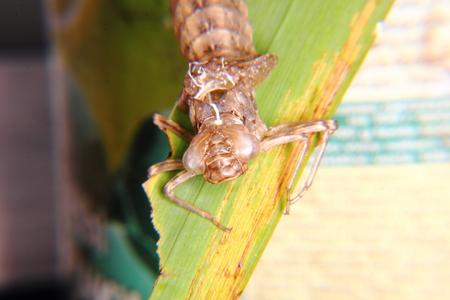 Dragonfly larvae   photo
