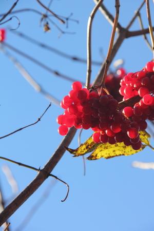 Kalina  Berries   photo