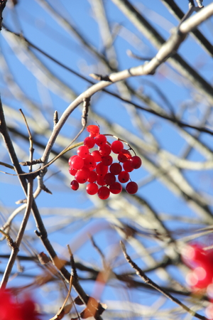Kalina  Berries   photo