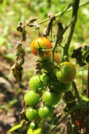 Tomatoes  Vegetable garden   photo