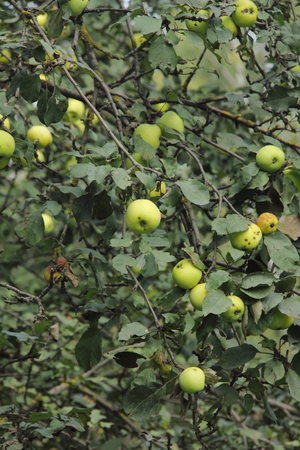 garden of eden: Apples  Apple tree   Stock Photo