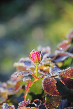 Rose  Flower  Hoarfrost   photo