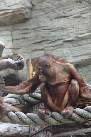 Orangutan baby   photo